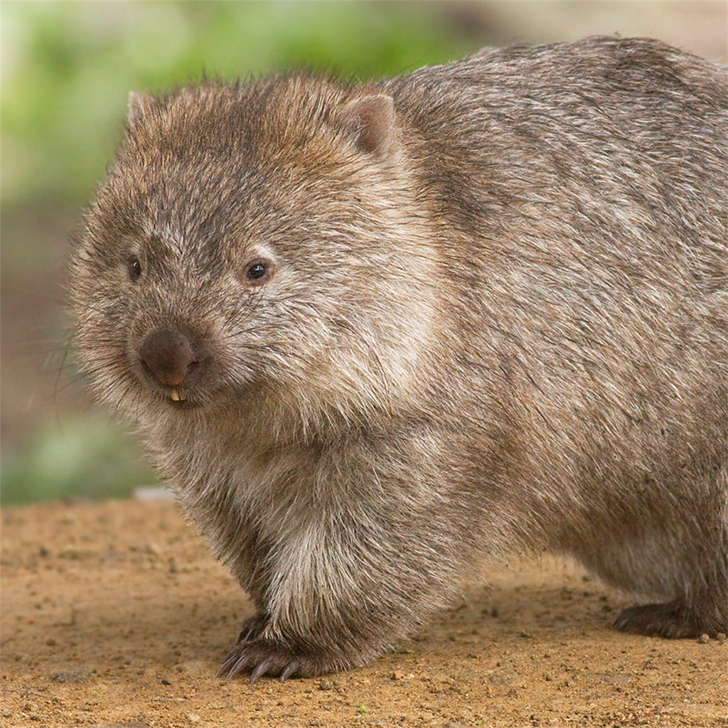 The Wombat Times