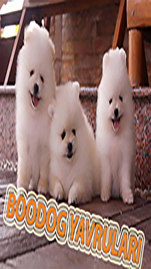 Scr Belgeli Pomeranian Boo