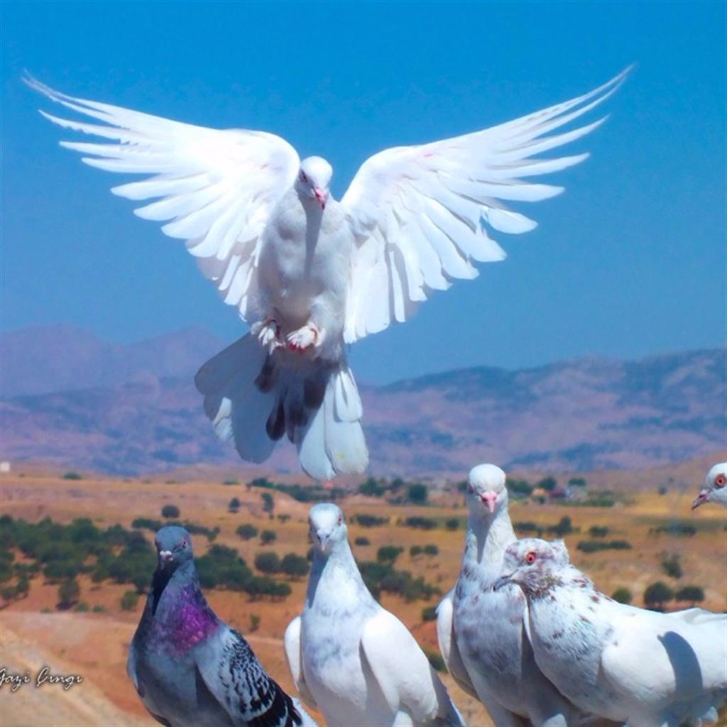 Güvercin Sevdası