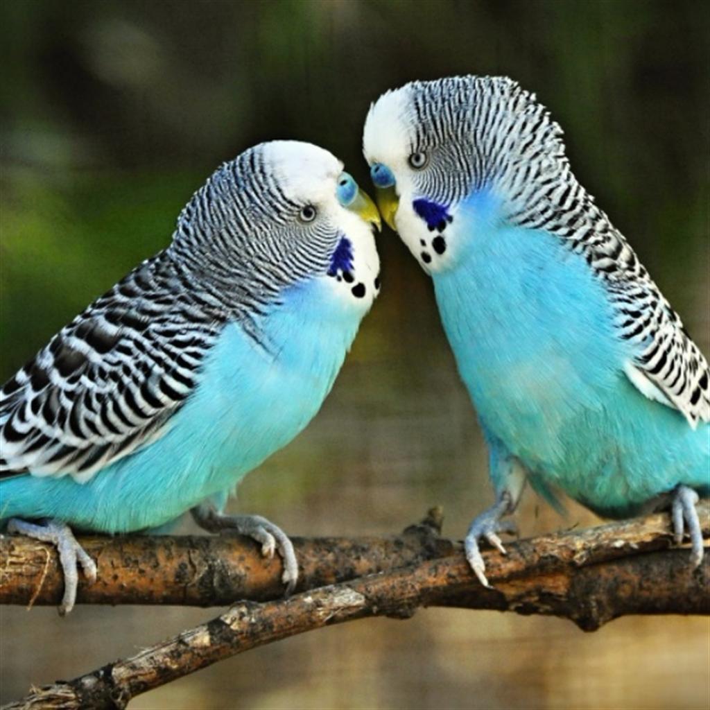 Muhabbet Kuşu Takip